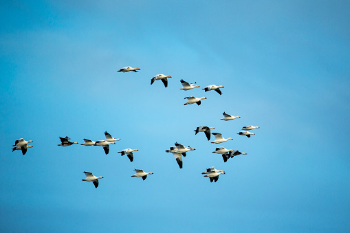 Hudson Bay「Migrating Flock of Snow Geese, Repulse Bay, Nanavut, Canada」:スマホ壁紙(17)
