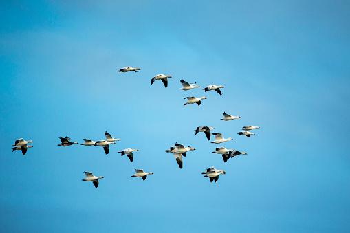 Flock Of Birds「Migrating Flock of Snow Geese, Repulse Bay, Nanavut, Canada」:スマホ壁紙(14)