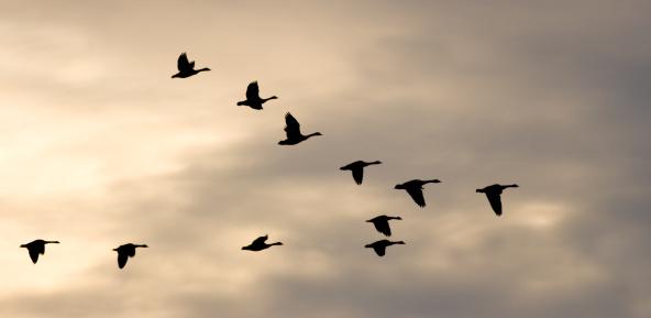 Flock Of Birds「Migrating Flock and Winter Sky」:スマホ壁紙(10)