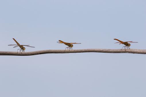 とんぼ「Three dragonflies resting on a tree branch, Tonle Sap」:スマホ壁紙(8)