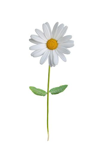 Marguerite - Daisy「A single white daisy on a white background」:スマホ壁紙(14)