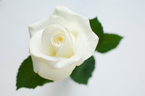 Single Object「Single white rose (Rosa)」:スマホ壁紙(18)