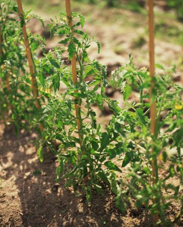 Wooden Post「Staking tomato seedlings」:スマホ壁紙(19)