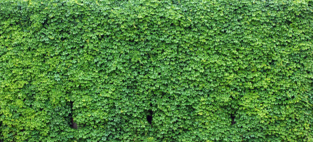 Panoramic「Bright green wall of ivy leaves」:スマホ壁紙(9)