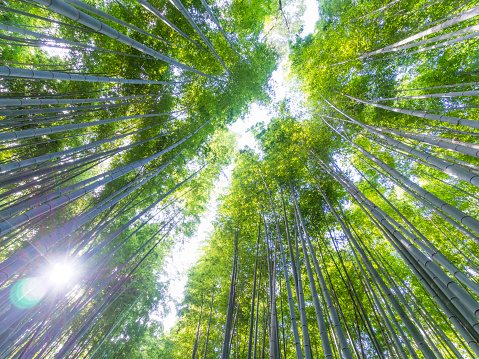 Looking Up「Bright green Japanese bamboo forest」:スマホ壁紙(12)