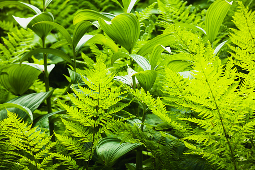 Joffre Lakes Provincial Park「Bright green fern and lily leaves show different textures」:スマホ壁紙(13)