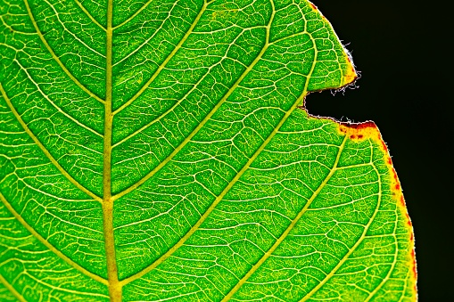 Insecticide「Bright green leaf with insect bite marks.」:スマホ壁紙(14)