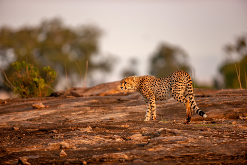 African Cheetah「The side view scene of an adult cheetah (Acinonyx jubatus) standing on a rock at plain」:スマホ壁紙(13)