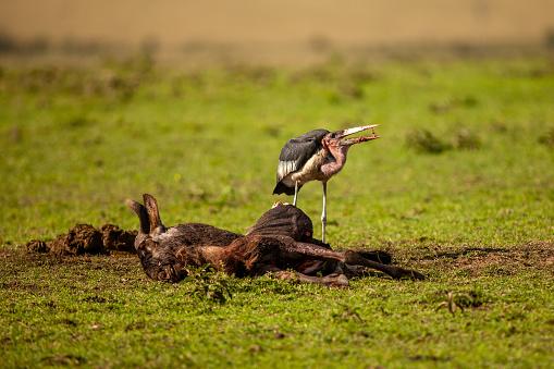 Runaway「The side view of marabou stork (leptoptilos crumenifer) while scavenging」:スマホ壁紙(16)