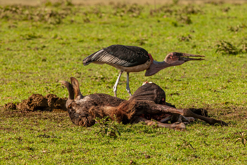 Runaway「The side view of marabou stork (leptoptilos crumenifer) on a carrion of wildebeest」:スマホ壁紙(15)