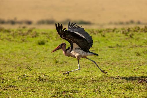 Runaway「The side view of marabou stork (leptoptilos crumenifer) running away after its meal」:スマホ壁紙(19)