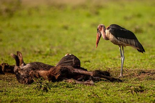 Runaway「The side view of the marabou stork (leptoptilos crumenifer) standing behind a carrion of wildebeest at plain」:スマホ壁紙(17)