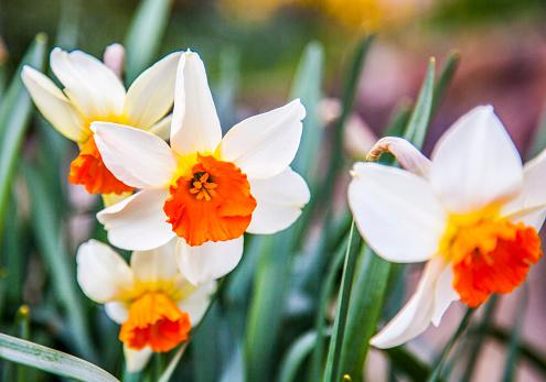 水仙「White and orange daffodils close-up, in full bloom」:スマホ壁紙(1)