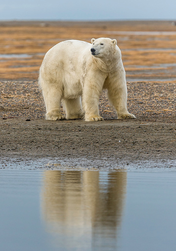 Polar Bear「The polar bear (Ursus maritimus) is a bear native largely within the Arctic Circle encompassing the Arctic Ocean, its surrounding seas and surrounding land masses. On the beach at Barter Island waiting for the sea to freeze to allow hunting of seals from」:スマホ壁紙(2)