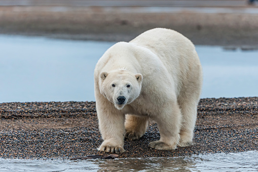 Kaktovik「The polar bear (Ursus maritimus) is a bear native largely within the Arctic Circle encompassing the Arctic Ocean, its surrounding seas and surrounding land masses. On the beach at Barter Island waiting for the sea to freeze to allow hunting of seals from」:スマホ壁紙(15)