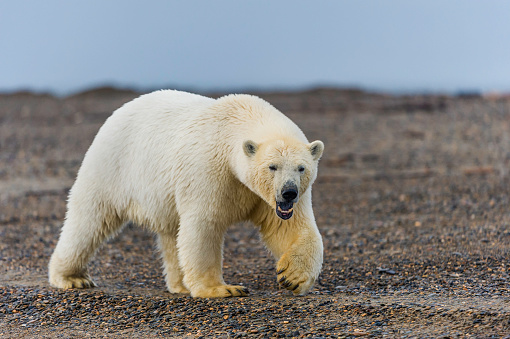 Kaktovik「The polar bear (Ursus maritimus) is a bear native largely within the Arctic Circle encompassing the Arctic Ocean, its surrounding seas and surrounding land masses. On the beach at Barter Island waiting for the sea to freeze to allow hunting of seals from」:スマホ壁紙(14)