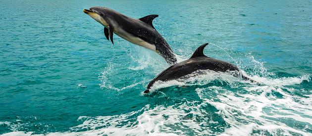 イルカ「Two dolphins jumping out of the ocean, Bay of Islands, North Island, New Zealand」:スマホ壁紙(7)