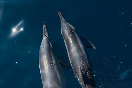 イルカ「Two dolphins swimming in ocean, Australia」:スマホ壁紙(13)