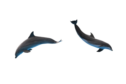 Dolphin「Two dolphins isolated on white」:スマホ壁紙(14)