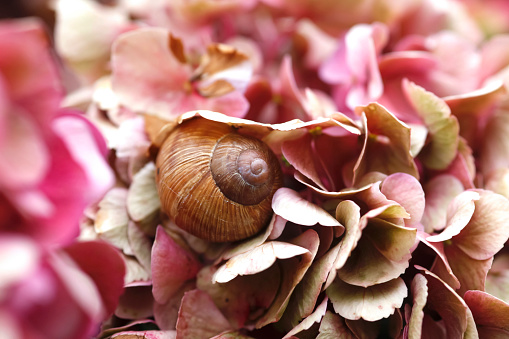 カタツムリ「Snail on petals of Hydrangea」:スマホ壁紙(10)