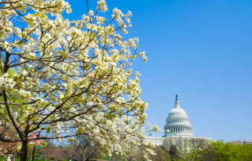 Dogwood「Dogwood tree with Capitol building in background」:スマホ壁紙(3)