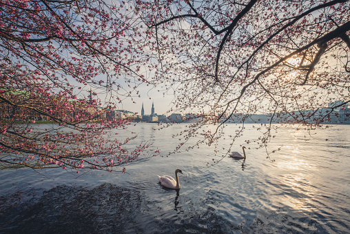 Cherry Blossoms「Germany, Hamburg, Germany, Hamburg, blossoming cherry tree at Binnenalster, swimming mute swans」:スマホ壁紙(10)