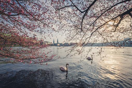 Government Building「Germany, Hamburg, Germany, Hamburg, blossoming cherry tree at Binnenalster, swimming mute swans」:スマホ壁紙(2)