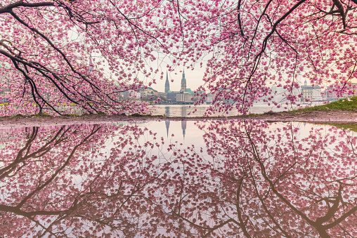 Town Square「Germany, Hamburg, Germany, Hamburg, blossoming cherry tree at Binnenalster, water reflections of town hall and St. Nicholas' Church」:スマホ壁紙(6)