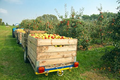リンゴ「Germany, Hamburg, Altes Land, apple picking」:スマホ壁紙(13)