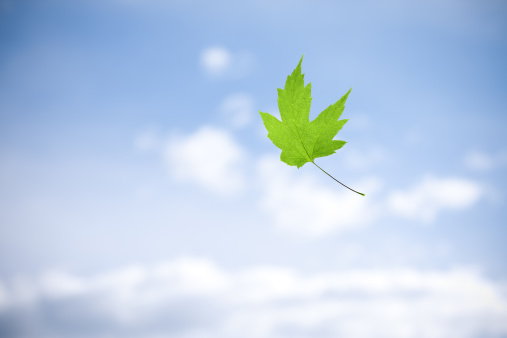 Maple Leaf「Falling」:スマホ壁紙(19)