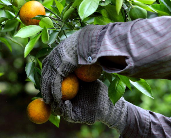 Orange - Fruit「Florida Citrus Production To Be Among Worst In A Decade」:写真・画像(12)[壁紙.com]