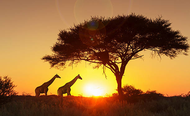 Giraffes under tree at sunset in Etosha National Park, Namibia:スマホ壁紙(壁紙.com)