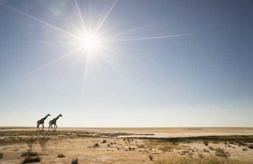 Namibia「Giraffes under sunshine in desert」:スマホ壁紙(6)