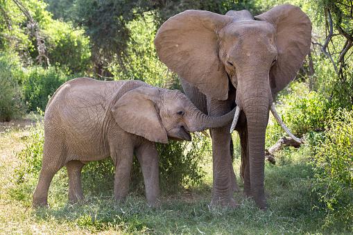 Elephant「Elephant family at Samburu National Reserve, Kenya」:スマホ壁紙(5)