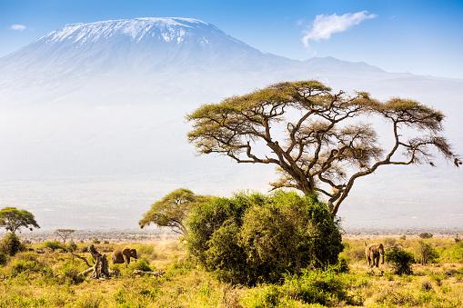 Animal Wildlife「Elephant familiy and Mount Kilimanjaro with Acacia」:スマホ壁紙(8)