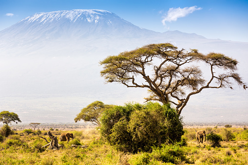 Kenya「Elephant familiy and Mount Kilimanjaro with Acacia」:スマホ壁紙(19)
