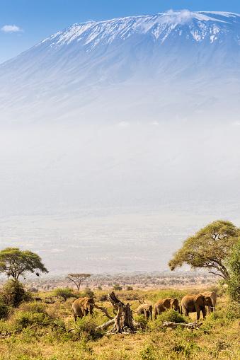 Animal Wildlife「Elephant familiy and Mount Kilimanjaro with Acacia」:スマホ壁紙(12)