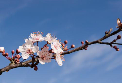 梅の花「春の花」:スマホ壁紙(18)