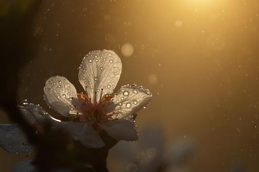 Allergy「Spring blossom at sunrise」:スマホ壁紙(0)