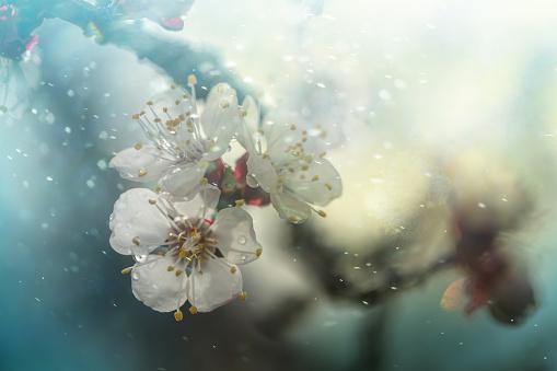 Cherry Blossoms「Spring blossom」:スマホ壁紙(9)