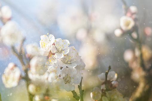 Allergy「Spring blossom」:スマホ壁紙(1)