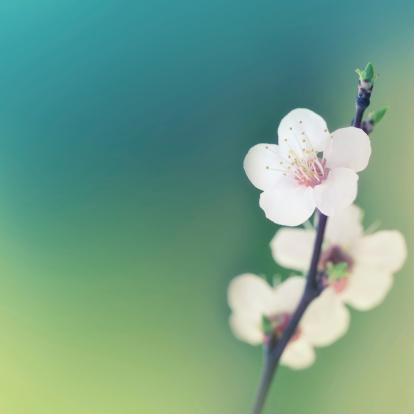 Cherry Blossoms「Spring blossom」:スマホ壁紙(15)