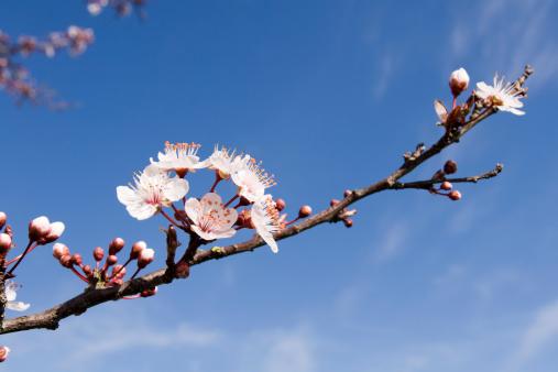 梅の花「春の花」:スマホ壁紙(17)