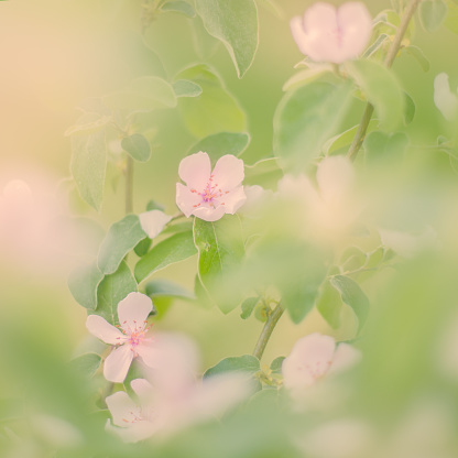 Cherry Blossom「Spring blossom」:スマホ壁紙(0)