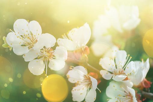 Allergy「Spring blossom」:スマホ壁紙(15)