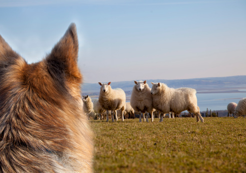 Animals Hunting「dog worrying sheep」:スマホ壁紙(2)