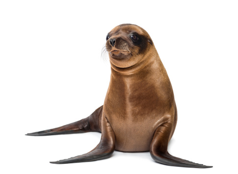 Belgium「Baby California Sea Lion looking away」:スマホ壁紙(14)