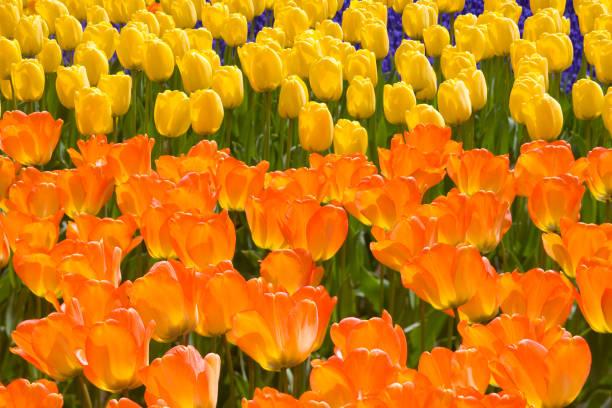 Orange and Yellow Tulips:スマホ壁紙(壁紙.com)