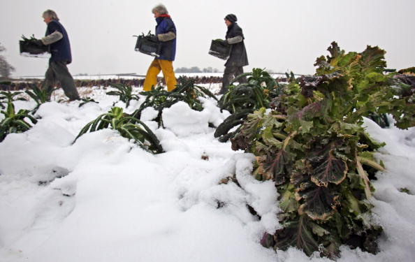 Somerset - England「Farmers Struggle To Harvest Their Crops Due To Freezing Temperatures」:写真・画像(8)[壁紙.com]