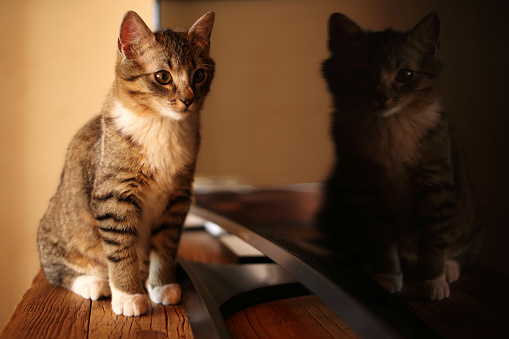 トラ猫「Cat looking at its reflection in a television」:スマホ壁紙(0)